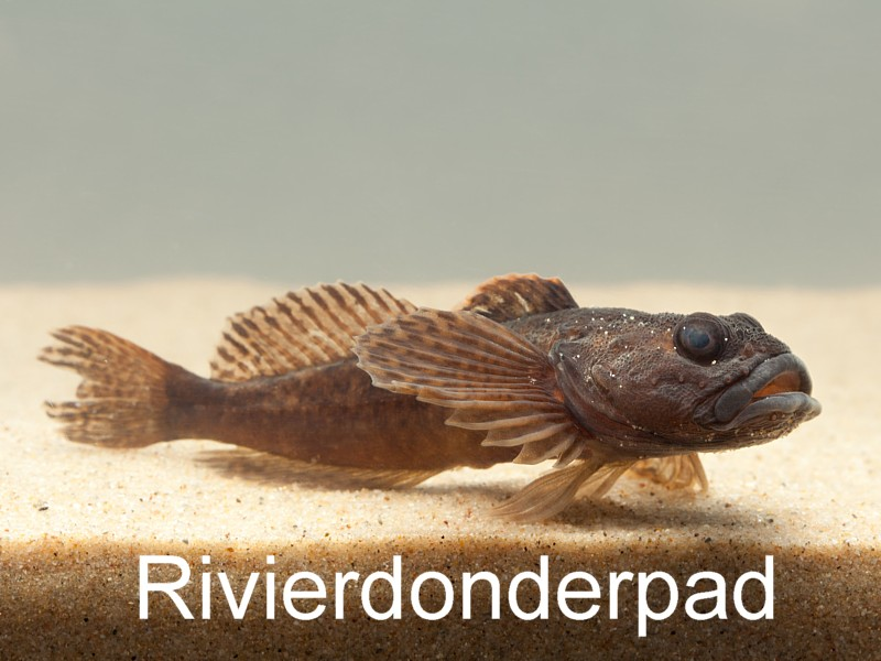 Rivierdonderpad - Picture Partners