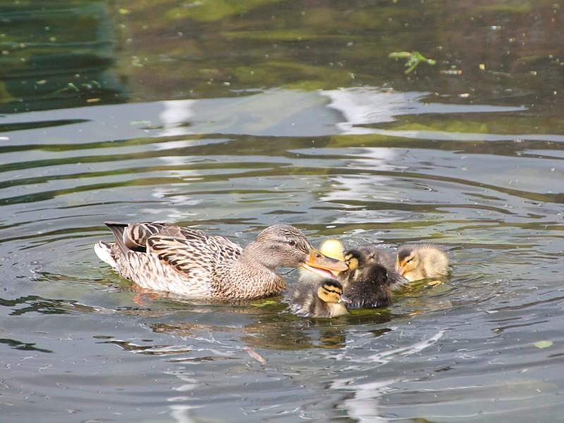 Kleurplaten Watervogels.Watervogels